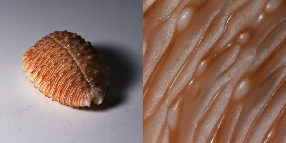 Close up on ridges on a seashell