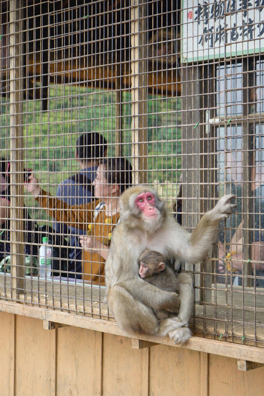 Arashiyama Monkey Park, Kyoto.